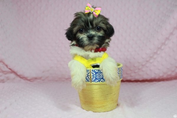 Tweety - Teacup ShihTzu puppy has found a good loving home with Mei from Las Vegas, NV 89138-24075