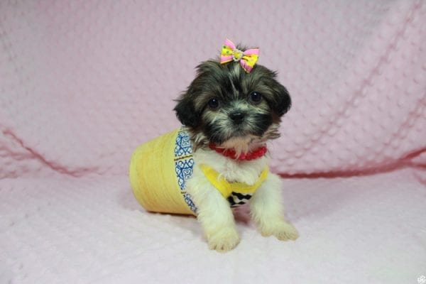 Tweety - Teacup ShihTzu puppy has found a good loving home with Mei from Las Vegas, NV 89138-24076