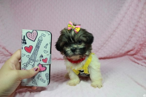 Tweety - Teacup ShihTzu puppy has found a good loving home with Mei from Las Vegas, NV 89138-24078