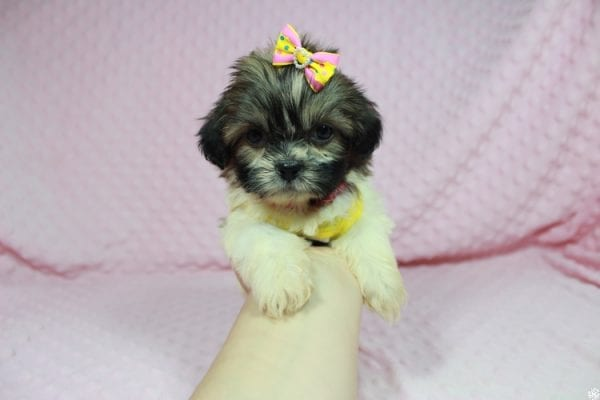Tweety - Teacup ShihTzu puppy has found a good loving home with Mei from Las Vegas, NV 89138-24079