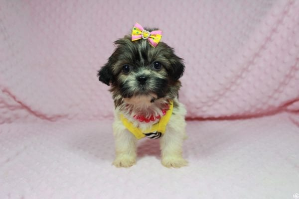 Tweety - Teacup ShihTzu puppy has found a good loving home with Mei from Las Vegas, NV 89138-24070