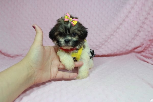 Tweety - Teacup ShihTzu puppy has found a good loving home with Mei from Las Vegas, NV 89138-24071