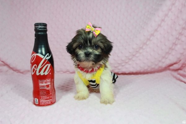 Tweety - Teacup ShihTzu puppy has found a good loving home with Mei from Las Vegas, NV 89138-0