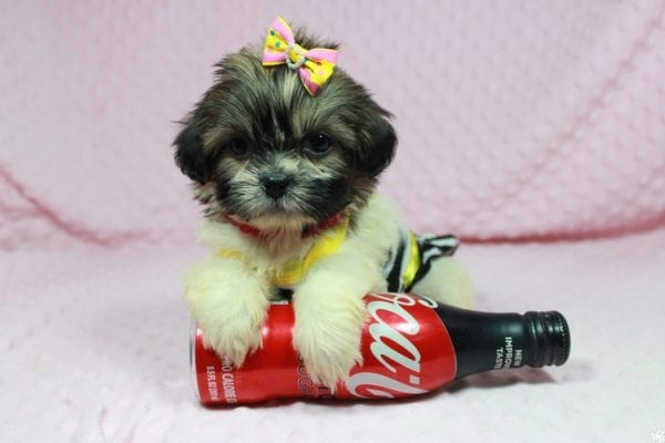 Tweety - Teacup ShihTzu puppy has found a good loving home with Mei from Las Vegas, NV 89138-24074