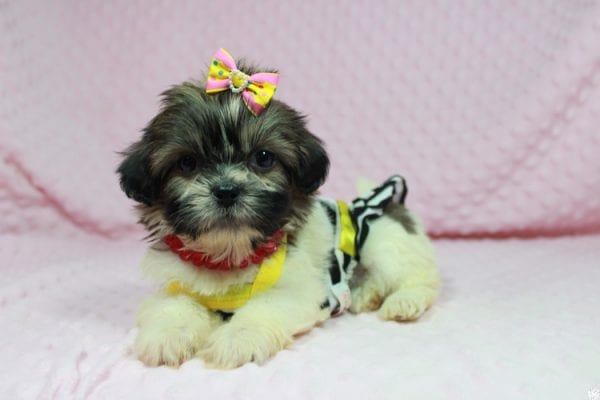 Tweety - Teacup ShihTzu puppy has found a good loving home with Mei from Las Vegas, NV 89138-24077