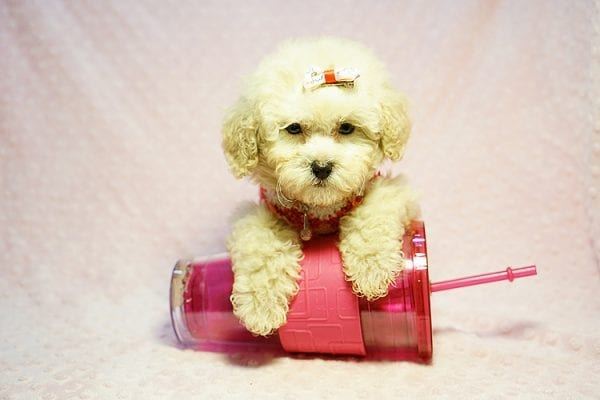 Tyra Banks - Teacup Maltipoo puppy has found a good loving home with Penny B from Littlerock AR 72223-24019