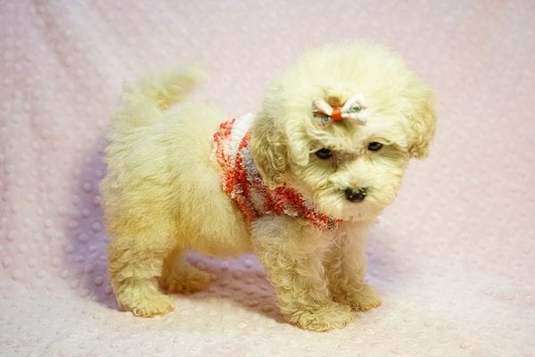 Tyra Banks - Teacup Maltipoo puppy has found a good loving home with Penny B from Littlerock AR 72223-24018