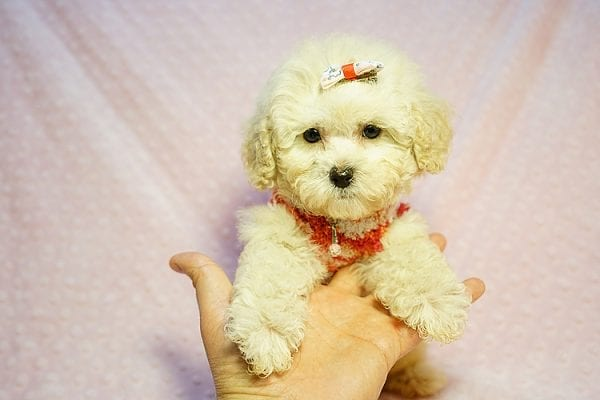 Tyra Banks - Teacup Maltipoo puppy has found a good loving home with Penny B from Littlerock AR 72223-24015