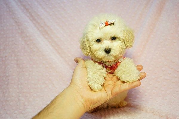 Tyra Banks - Teacup Maltipoo puppy has found a good loving home with Penny B from Littlerock AR 72223-24016