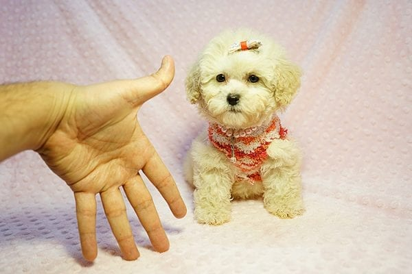 Tyra Banks - Teacup Maltipoo puppy has found a good loving home with Penny B from Littlerock AR 72223-24017