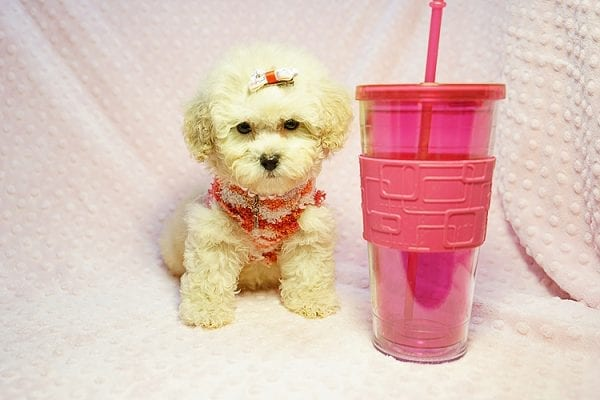 Tyra Banks - Teacup Maltipoo puppy has found a good loving home with Penny B from Littlerock AR 72223-0