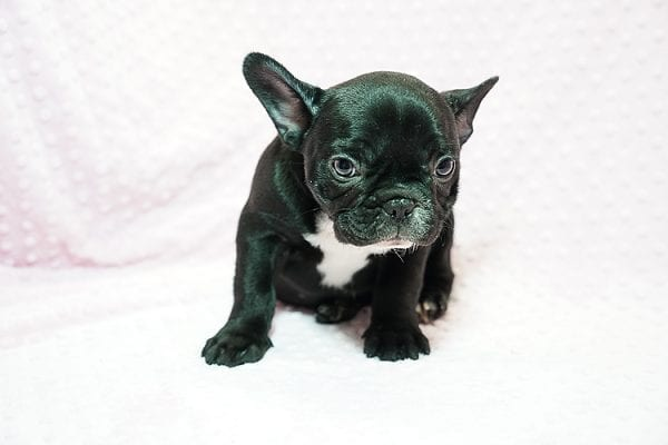 Pikachu - French Bulldog Puppy has found a good loving home with Jeremy from Las Vegas, NV 89147.-24029