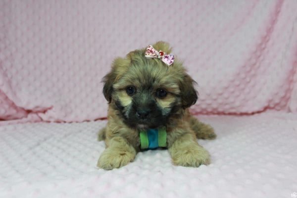 Wasabi - Toy Malshih Puppy has found a good loving home with Victoria from Henderson, NV 89002-23680