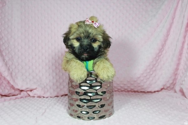 Wasabi - Toy Malshih Puppy has found a good loving home with Victoria from Henderson, NV 89002-23683