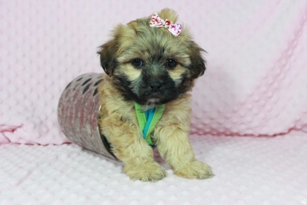 Wasabi - Toy Malshih Puppy has found a good loving home with Victoria from Henderson, NV 89002-23684