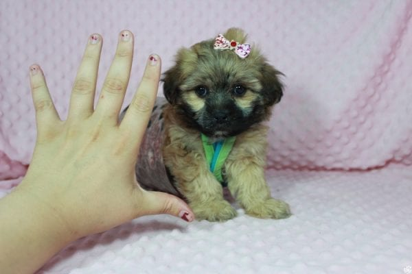 Wasabi - Toy Malshih Puppy has found a good loving home with Victoria from Henderson, NV 89002-0