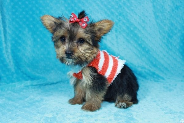 Ant-Man - Teacup Yorkie Puppy has found a good loving home with Pam from Las Vegas, NV 89147.-24265