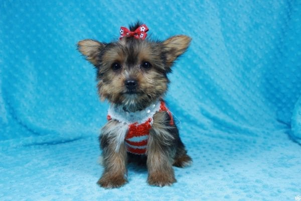 Ant-Man - Teacup Yorkie Puppy has found a good loving home with Pam from Las Vegas, NV 89147.-24260