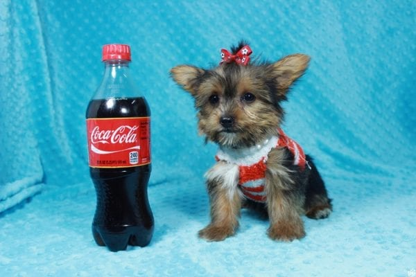 Ant-Man - Teacup Yorkie Puppy has found a good loving home with Pam from Las Vegas, NV 89147.-24262