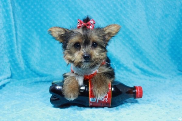 Ant-Man - Teacup Yorkie Puppy has found a good loving home with Pam from Las Vegas, NV 89147.-24261