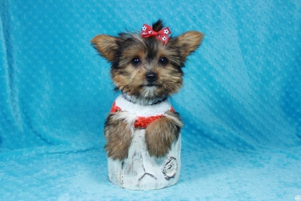 Ant-Man - Teacup Yorkie Puppy has found a good loving home with Pam from Las Vegas, NV 89147.-0