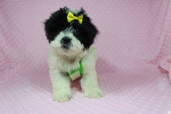 Ariel - Toy Malshih Puppy has found a good loving home with Patrick from San Diego, CA 92154-24687