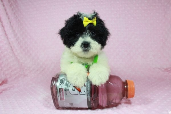 Ariel - Toy Malshih Puppy has found a good loving home with Patrick from San Diego, CA 92154-24689