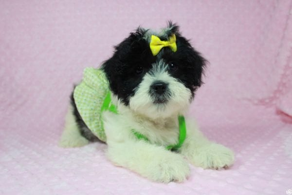 Ariel - Toy Malshih Puppy has found a good loving home with Patrick from San Diego, CA 92154-0