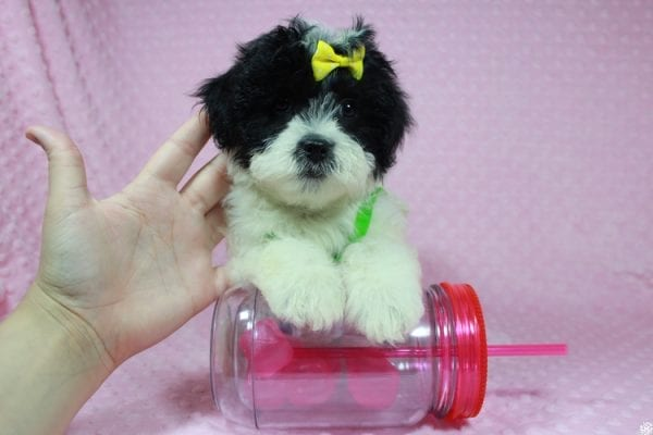 Ariel - Toy Malshih Puppy has found a good loving home with Patrick from San Diego, CA 92154-24692
