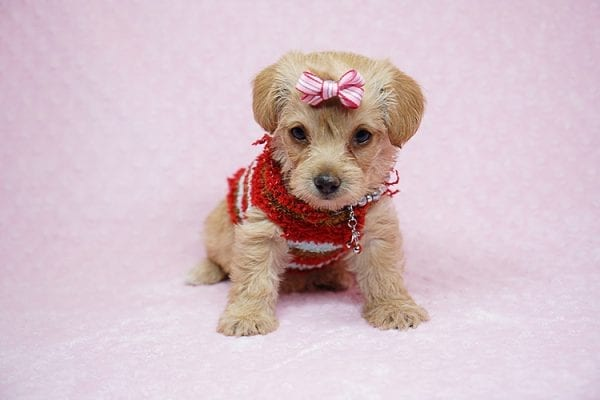Bell - Toy Puppy Morkie has found her good loving home with Orisel from Sylmar, CA 91342.-0