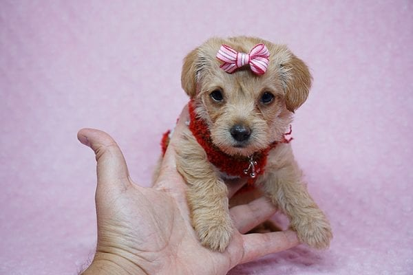 Bell - Toy Puppy Morkie has found her good loving home with Orisel from Sylmar, CA 91342.-24588