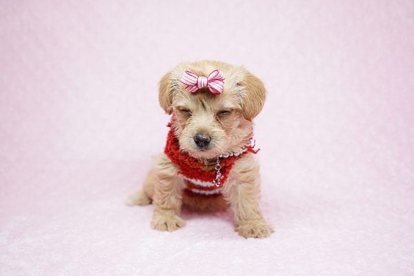 Bell - Toy Puppy Morkie has found her good loving home with Orisel from Sylmar, CA 91342.-24586