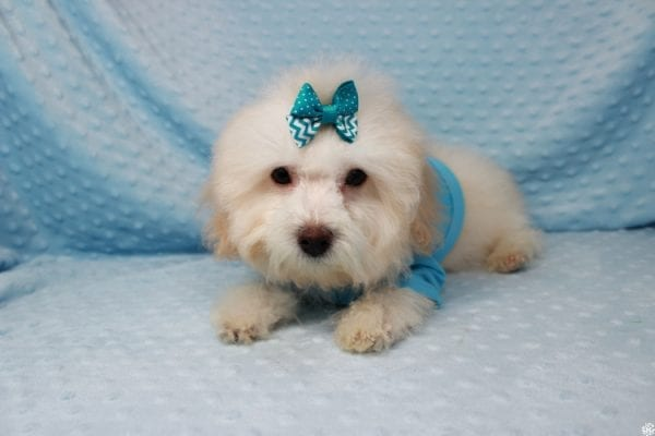 Casper - Toy Poodle Puppy has found a good loving home with Jessica from Las Vegas, NV 89131-25612