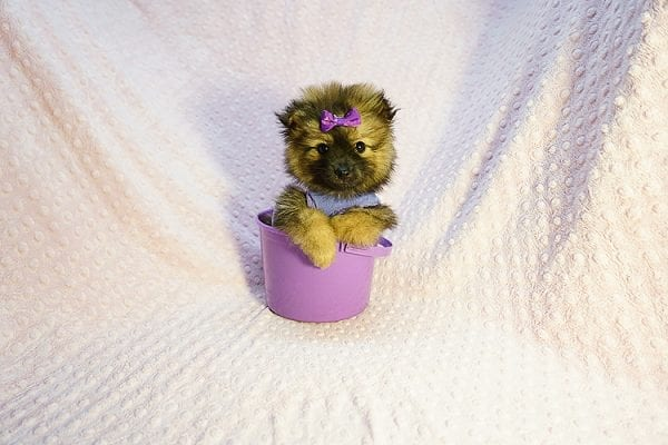 Chrissy - Toy Pomeranian Puppy has found a good loving home with Jazmyne from Calabasas, CA 91302-24350