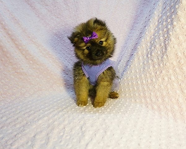Chrissy - Toy Pomeranian Puppy has found a good loving home with Jazmyne from Calabasas, CA 91302-24348