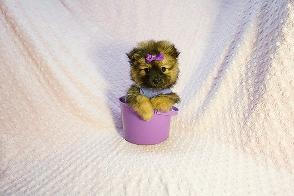 Chrissy - Toy Pomeranian Puppy has found a good loving home with Jazmyne from Calabasas, CA 91302-0