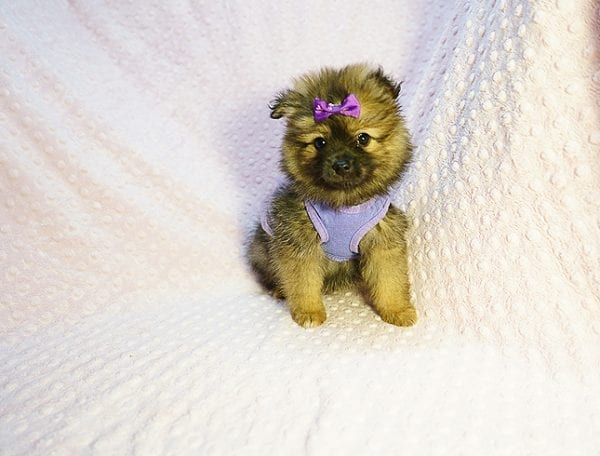 Chrissy - Toy Pomeranian Puppy has found a good loving home with Jazmyne from Calabasas, CA 91302-24351