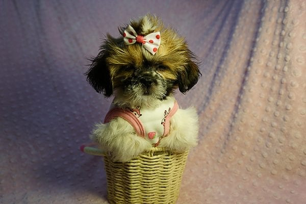 Cutie Pie - Toy Shih Tzu Puppy Found her New Loving Home with Kimberly From Terrence CA 90501 -24321