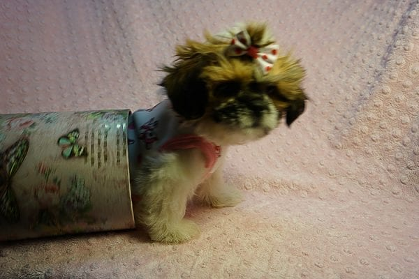 Cutie Pie - Toy Shih Tzu Puppy Found her New Loving Home with Kimberly From Terrence CA 90501 -24316