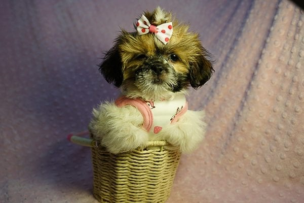 Cutie Pie - Toy Shih Tzu Puppy Found her New Loving Home with Kimberly From Terrence CA 90501 -24315