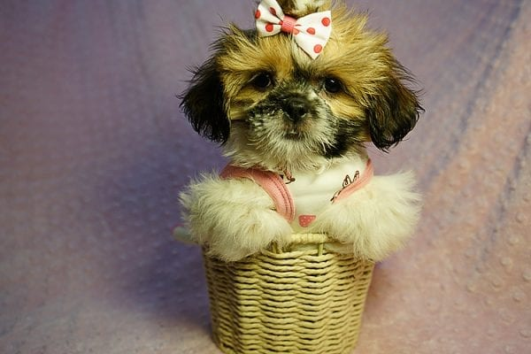 Cutie Pie - Toy Shih Tzu Puppy Found her New Loving Home with Kimberly From Terrence CA 90501 -24318