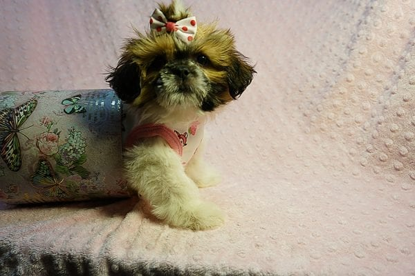 Cutie Pie - Toy Shih Tzu Puppy Found her New Loving Home with Kimberly From Terrence CA 90501 -24319