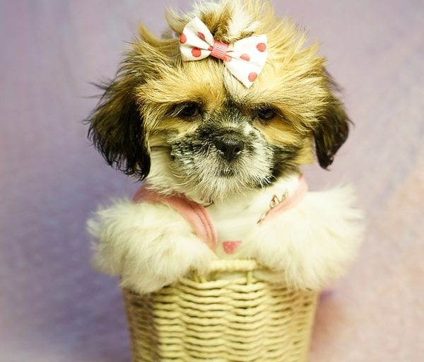 Cutie Pie - Toy Shih Tzu Puppy Found her New Loving Home with Kimberly From Terrence CA 90501 -0