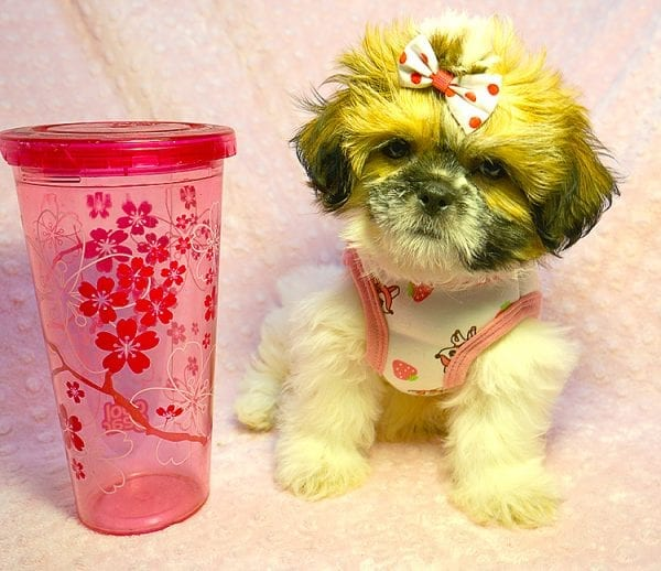 Cutie Pie - Toy Shih Tzu Puppy Found her New Loving Home with Kimberly From Terrence CA 90501 -24322