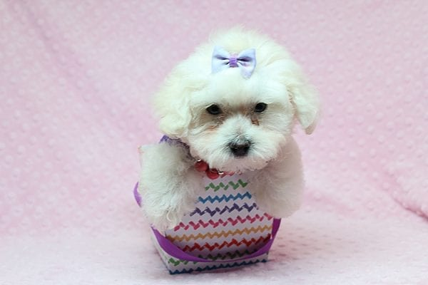 Daisy Fuentes - Teacup Poodle Puppy Found Her Good Loving Home With Autrese S. In Gardena CA, 90247-25149