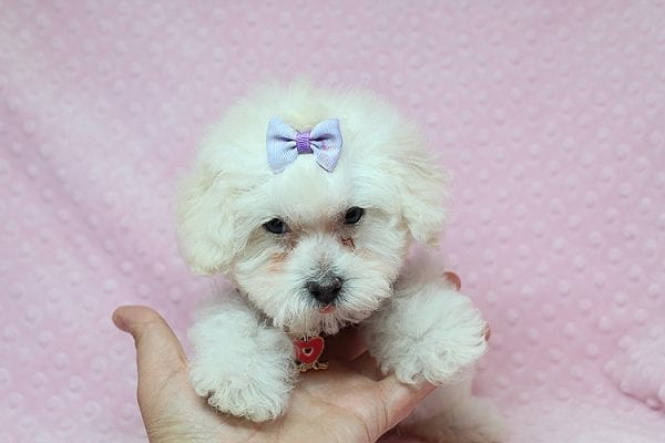 Daisy Fuentes - Teacup Poodle Puppy Found Her Good Loving Home With Autrese S. In Gardena CA, 90247-25146