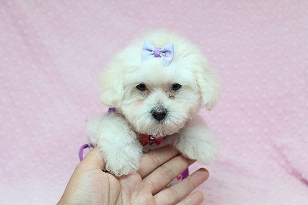 Daisy Fuentes - Teacup Poodle Puppy Found Her Good Loving Home With Autrese S. In Gardena CA, 90247-25150