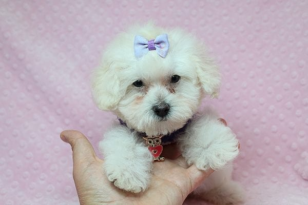Daisy Fuentes - Teacup Poodle Puppy Found Her Good Loving Home With Autrese S. In Gardena CA, 90247-0