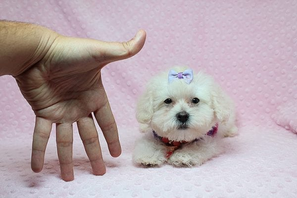 Daisy Fuentes - Teacup Poodle Puppy Found Her Good Loving Home With Autrese S. In Gardena CA, 90247-25147