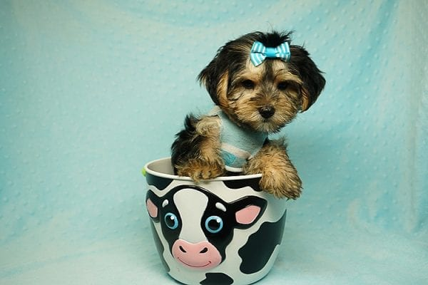 Formula 1 - Toy Yorkie Puppy has found a good loving home with Lucy from Las Vegas, NV 89149-24616